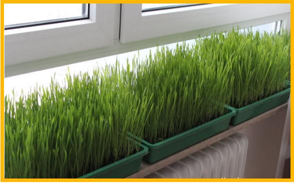 Как в домашних условиях посадить пшеницу в 478