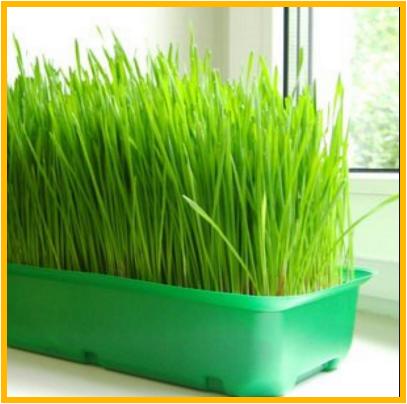 Выращивание пшеницы домашних условиях