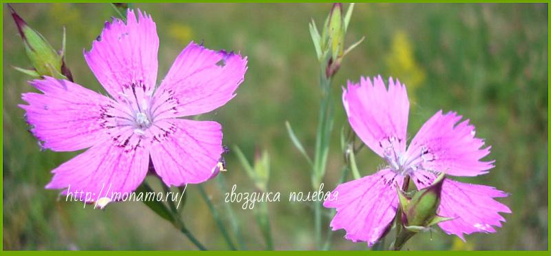 gvozdichka-polevaya