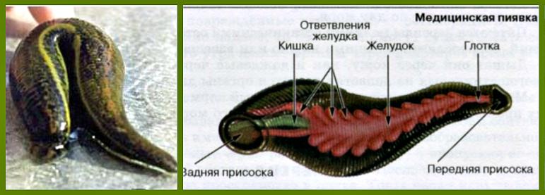 meditsinskaya-piyavka