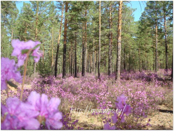 багул в лесу