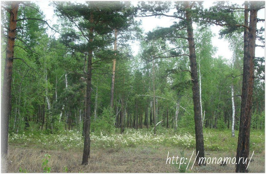 кустарники спиреи в лесу