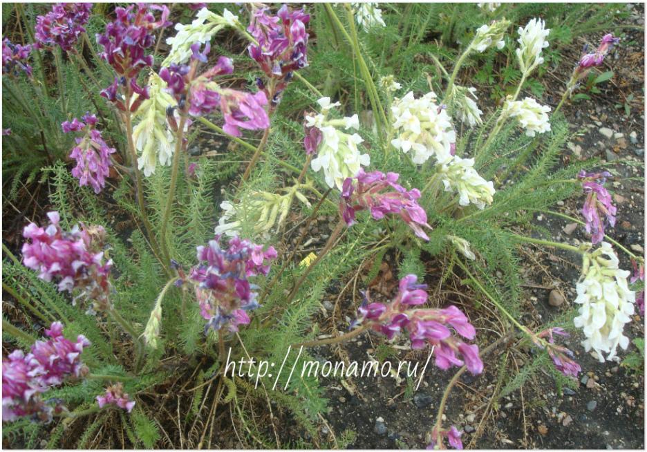 остролодочник белый и лиловый