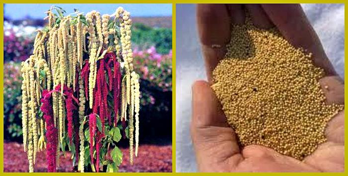 полезные свойства семян амаранта