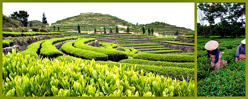 чай улун полезные свойства