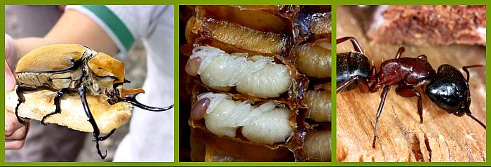 жуки муравьи