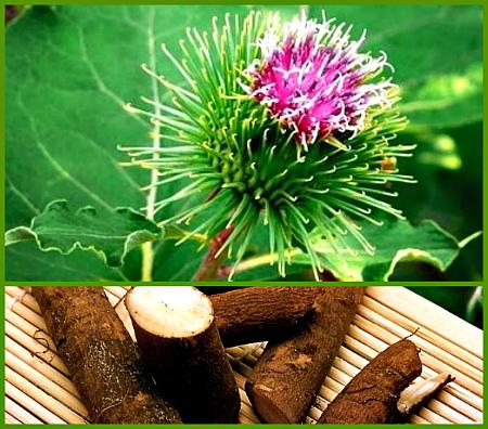 Когда собирать лопух для лечения: как собирать и как сушить листья и корни лопуха ( отзывы)
