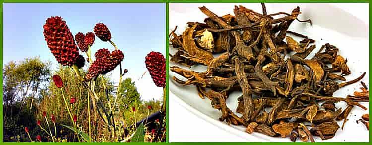 корневище и цветок красноголовника