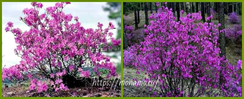 цветет розово-малиновым цветом
