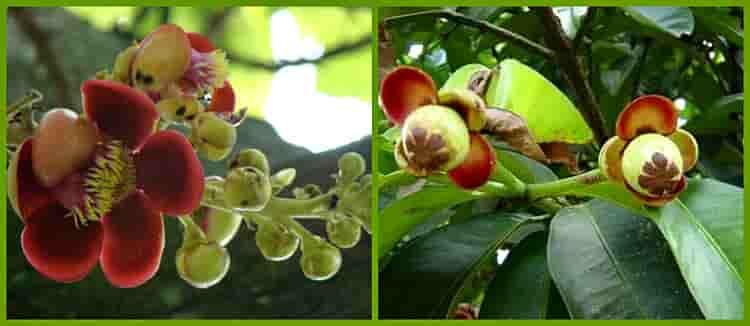 цветы и плоды мангустина