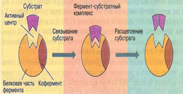 функции ферментов
