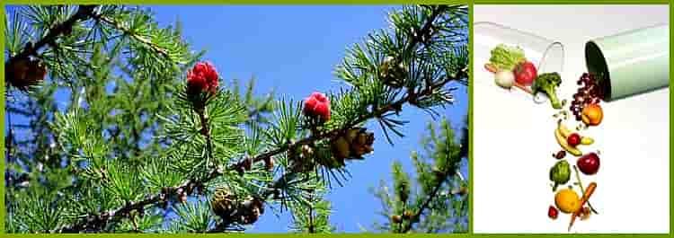 лиственница даурская
