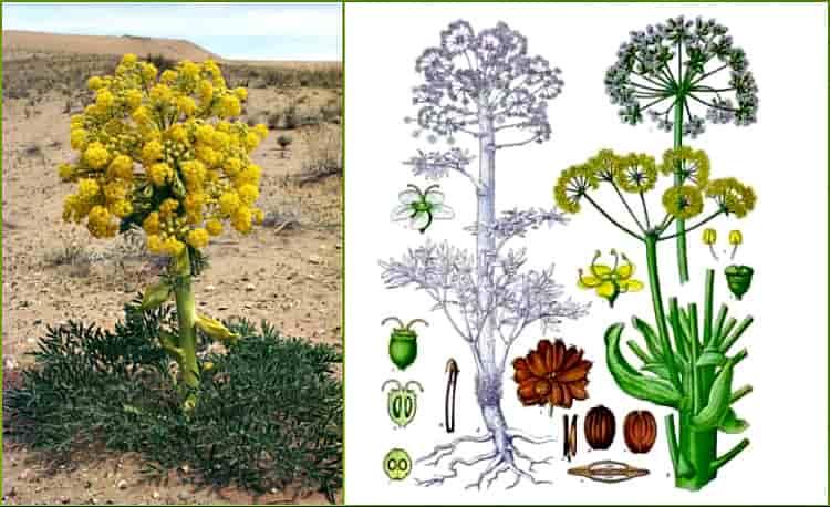 растение ферула вонючая