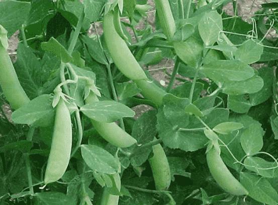 растение горох
