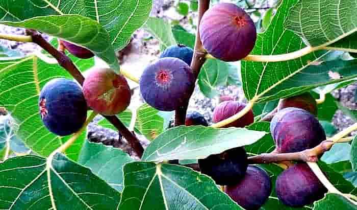 плоды инжира на дереве