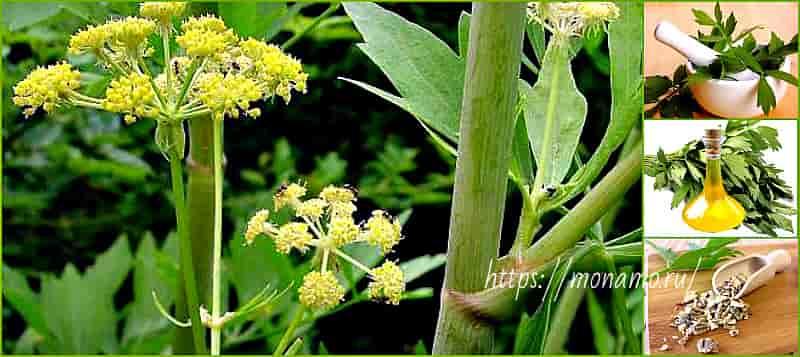 описание растения любисток