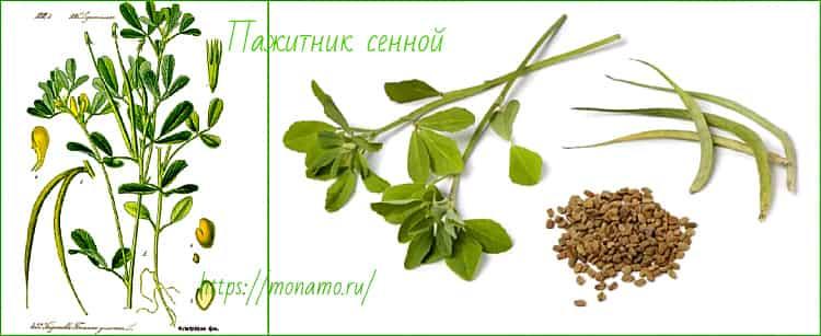 растение пажитника сенного