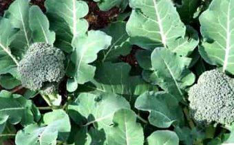 капуста брокколи фото выращивание и уход в открытом грунте