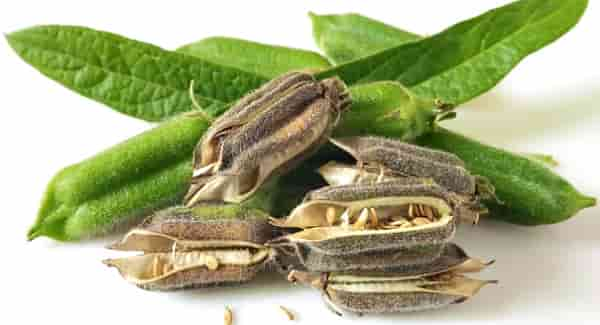 кунжутные семечки польза и вред как принимать