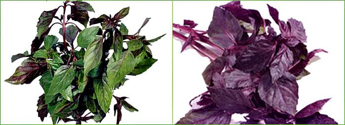 листья базилика зеленые и фиолетовые