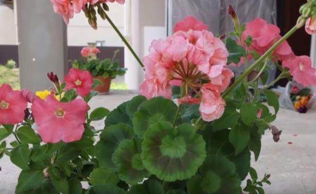 Герань комнатная - польза и вред, лечебные свойства растения