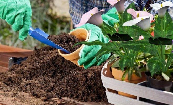 Калла (зантедеския) – уход и выращивание в домашних условиях
