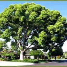 камфорное дерево