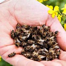 лечебные свойства подмора пчелиного