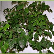 растение березка