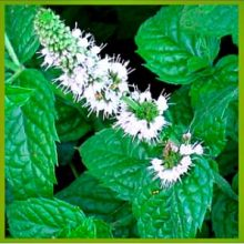 цветок мяты перечной